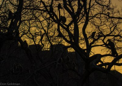 Langur Silhouettes at Sunset at Ranthambore Fort