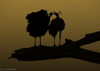 Peahen Silhouettes at Ranthambore Fort