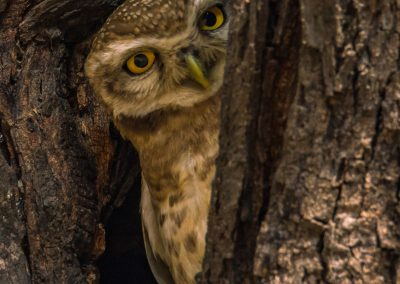 Spotted Owlet Hiding