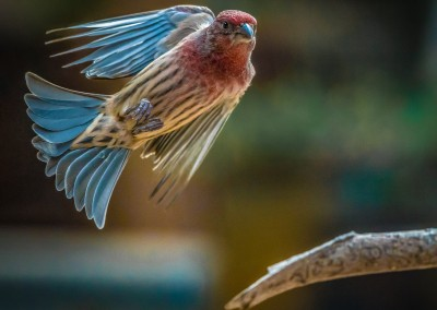 Finch Coming In