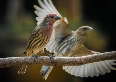 Finch Fly By