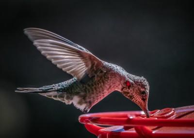 Hummingbird Drinking 2