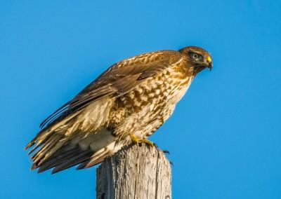 Red Tailed Hawk near Lodi