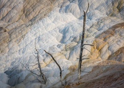 Mammoth Hot Springs Trees 2