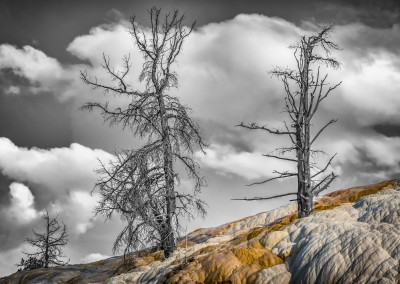 Mammoth Hot Springs Trees