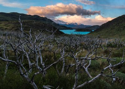 Dead Tree Forest From Fire Torres del Paine