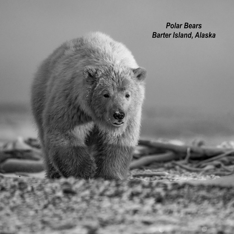 Polar Bears of Barter Island, Alaska