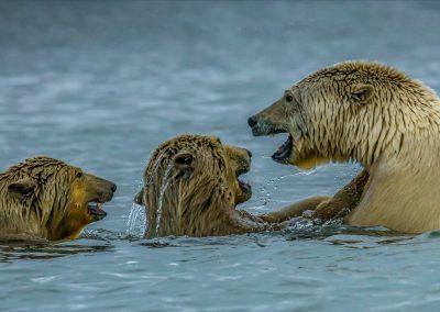 Bears Play Fighting 4