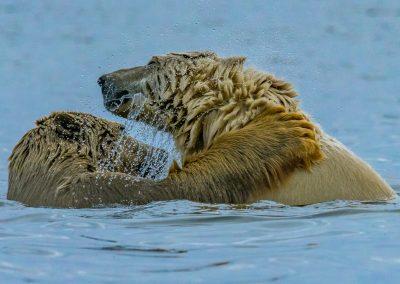 Bears Play Fighting 6