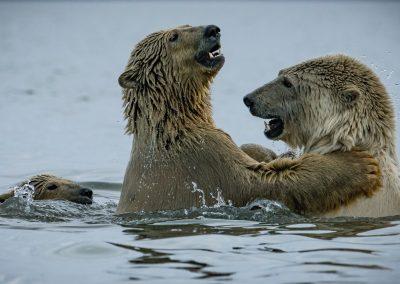 Bears Play Fighting 2