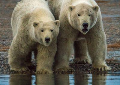 Bear Pair Getting Close