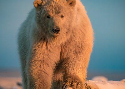 Bear Walkng Toward Us 3