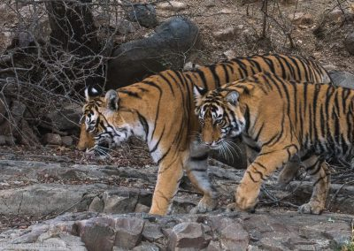 Two Tigers Walking