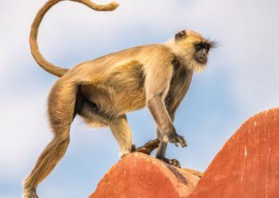 Langur Climber