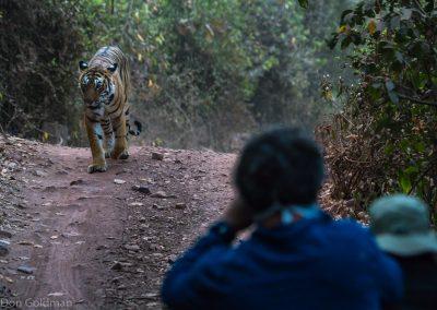 Unconcerned Tiger