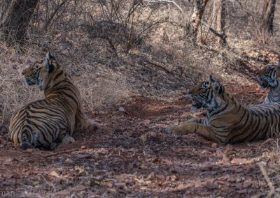 Three Tigers On Alert