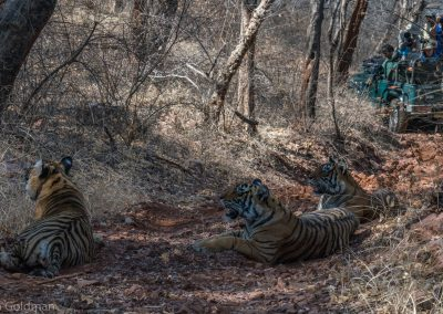 Three Tigers With Onlookers
