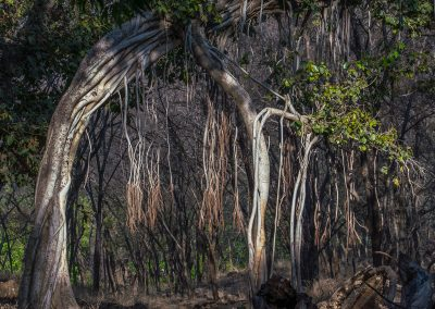 Banyon Tree Arch