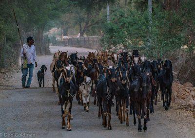 Herding Goats Ranthambore