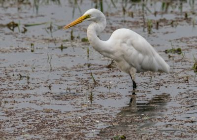 Great Egret with Tiny Breakfast