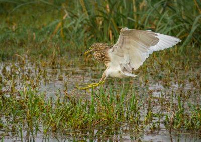 Pond Heron Landing