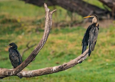 Indian Cormorant and Darter (Snake Bird) Keoladeo