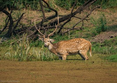Spotted Deer in Marsh