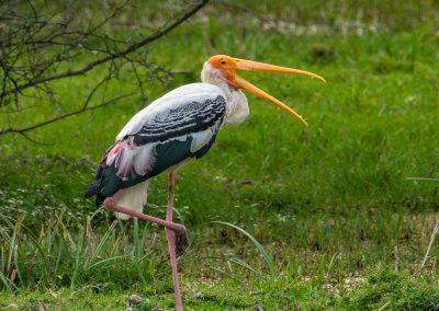 Painted Stork Keoladeo