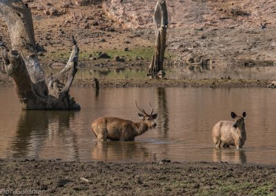 Deer at Water Hole