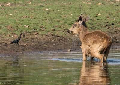 Deer and Cormorant Eating