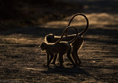 Langur Monkey Silhouettes at Sunset