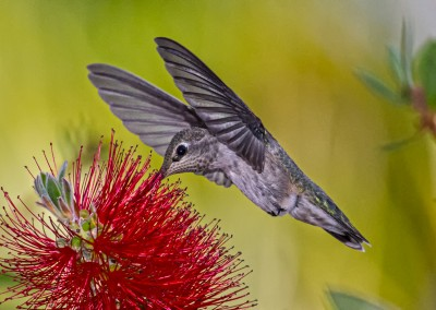 Hummingbird at Bottlebrush