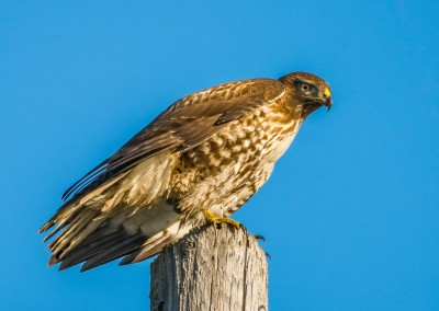 Red Tailed Hawk near Lodi