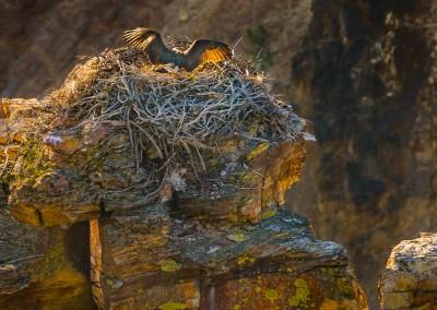 Osprey Nest Landing