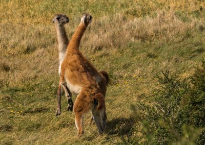 Guanaco Confrontation