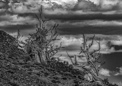 Bristlecone Pines - Patriarchs