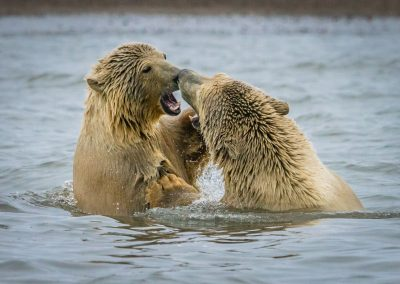 Bears Play Fighting 3