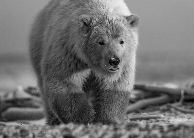 Bear Walkng Toward Us 2