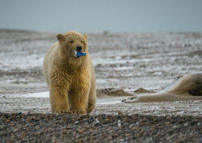 Bear Walkng Toward Us With ??