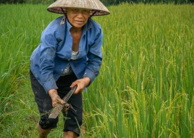 Tending Rice Paddy 2
