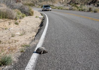 Desert Tortoise in Danger Near Cottonwood