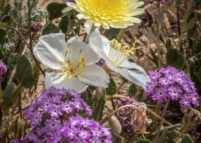 Dandelion, Primrose & Berbena
