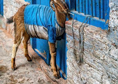 Varanasi Blue Goat