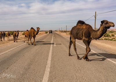 Camel Crossing Erg Chebbi