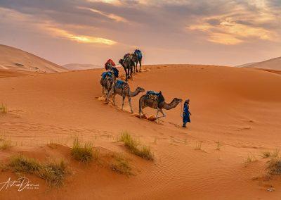 Camel in the Desert 2