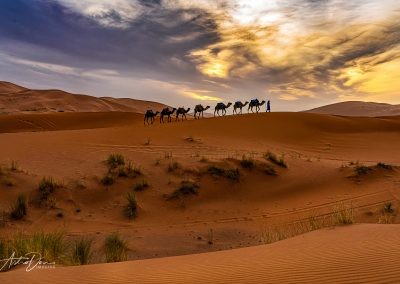 Camels in the Desert 3