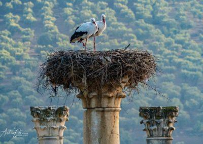 White Storks Volubilis