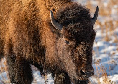 Bison Approaching 2
