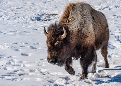 Bison Approaching