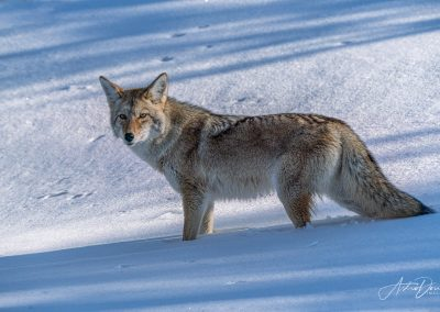 Coyote in Fresh Snow 2